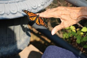 Monarch Butterflies at Salem Home outside